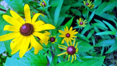 Black Eyed Susan | Ideas in Bloom