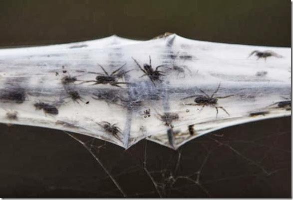 spiders-invading-australia-4
