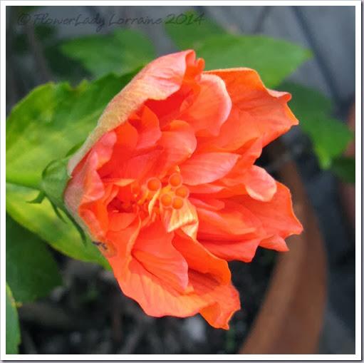 02-15-hibiscus2