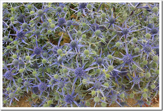Eryngium&times;tripartitum_02