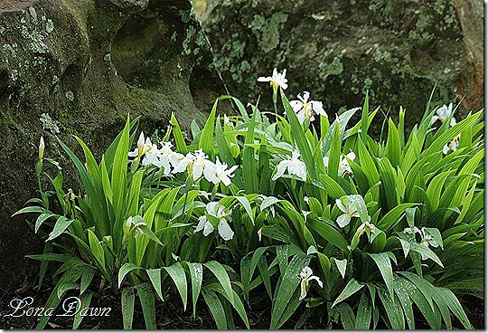 DA_Japanese_WhiteIris_SM