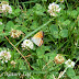 Lycaenidae%25252c%252520lycaena%252520pavana%25252c%252520white%252520bordered%252520copper