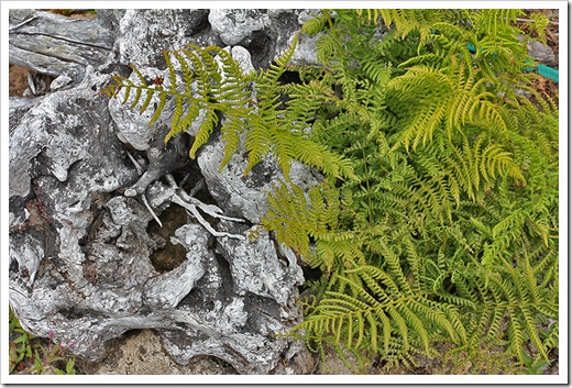 110712_fern_and_driftwood