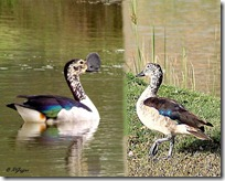 117 Comb Duck ( Male- Female ) Nakto