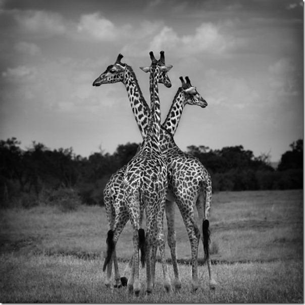 Fotos preto e branco de animais selvagens (20)