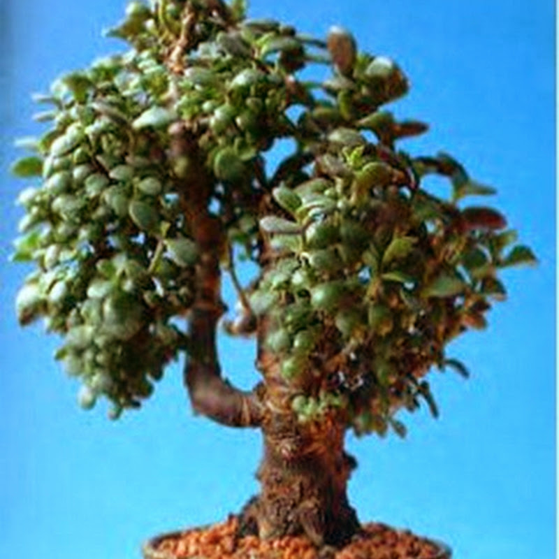 Crassula ovata/ Jade or Money Tree Bonsai