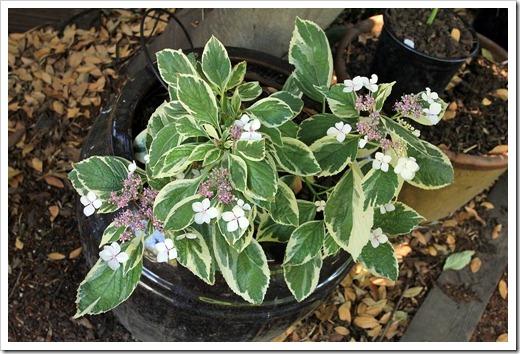 130524_Hydrangea-macrophylla-Tricolor_01