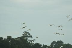 cowbird 033