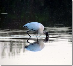 Wood Stork eating in Eco Pond