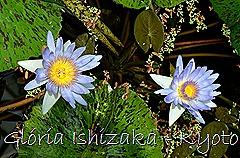 Glória Ishizaka - Ninféia -  Kyoto Botanical Garden 2012 - 6