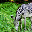 Zebra at the Bronx Zoo