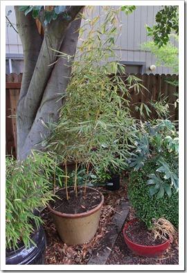 120218_Phyllostachys-bambusoides-Castillon_06