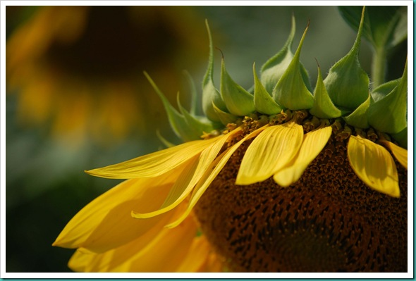 Sunflower Side Face Down