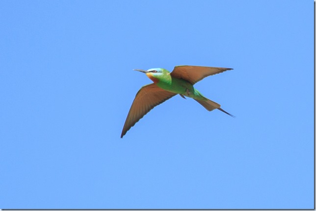 Blue-cheeked_Bee-eater-1