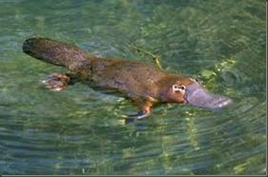 Amazing Pictures of Animals Platypus OrnithorhynchusAlex (10)