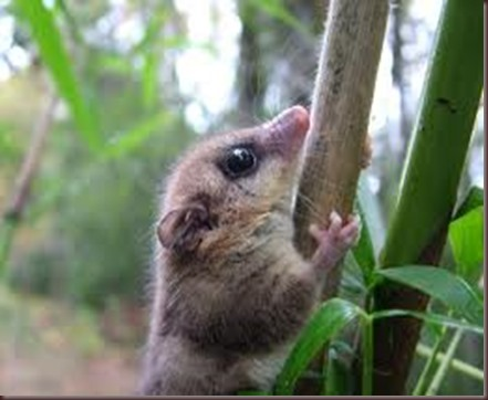 Amazing Animal Pictures Monito del monte (13)
