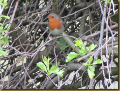 IMG_0549 Robin