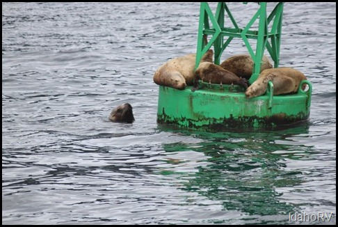 Stellar-Sea-Lions-on-Buoy