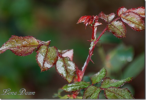 Frosty_Rosebush_Oct30