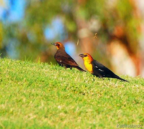 11. yellow headed blackbirds-kab
