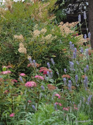 Nandina domestica (fleurs blanches) - Spirée bumalda 'Anthony waterer' rose - Lavandula angustifolia