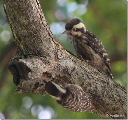 sunda pygmy woodpeckers