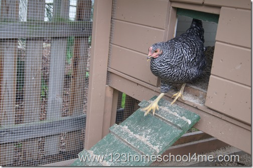 Backyard Chickens: Moving into the Chicken Coop
