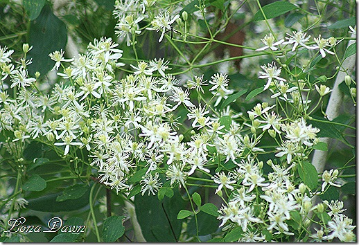 Clematis_Sweet_Autumn3