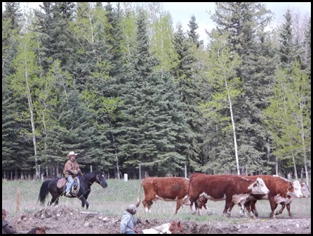 cattle drive (5)