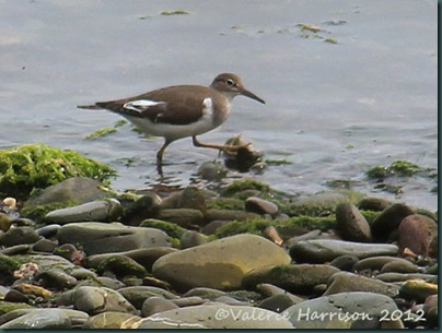 6-Common-Sandpiper