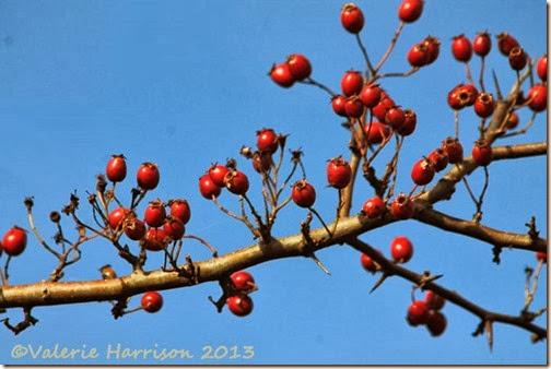 9-hawthorn