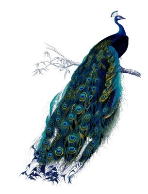 peacock vintage image--graphicsfairy15
