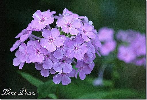 Davids_Lavender2