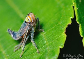 Amazing Pictures of Animals, photo, Nature, exotic, funny, incredibel, Zoo, Leafhopper, Insecta, Alex (29)