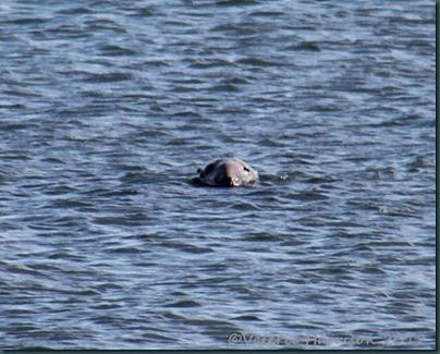 24-grey-seal