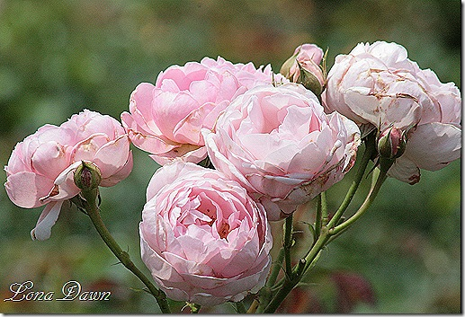 LG_Pink_Roses