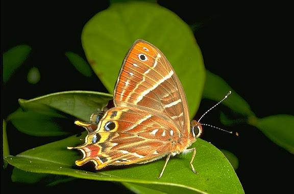 Riodinidae : Saribia tepahi BOISDUVAL, 1833, endémique. Parc de Mantadia-Andasibé (Périnet, 100 km à l'est d'Antananarivo), 2001. Photo : Alexandre