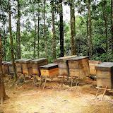 アカシア・プランテーション内にて 養蜂を行う中国人が所有するミツバチの巣箱 / At an acacia plantation: beehives owned by Chinese beekeepers