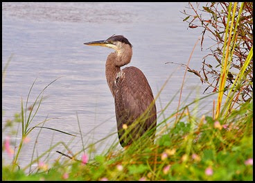 02e1 - birds -Great Blue Heron