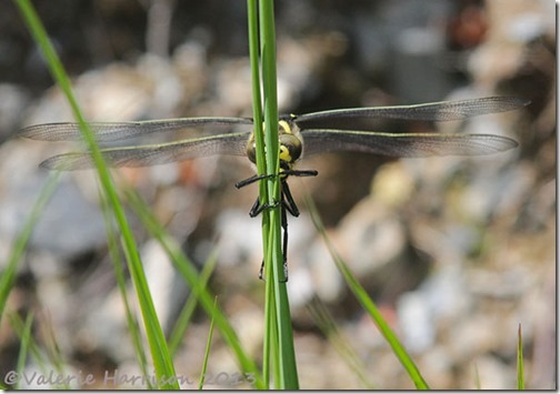 14-golden-ringed-dragonfly