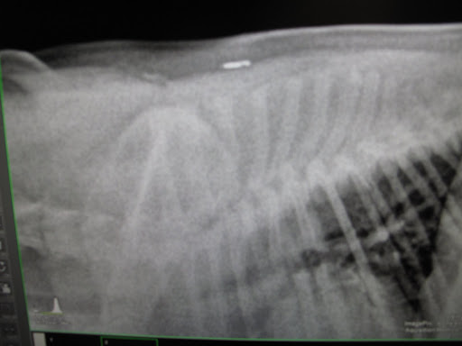 And there are my ribs and front leg.  You can even see my microchip up on my back!