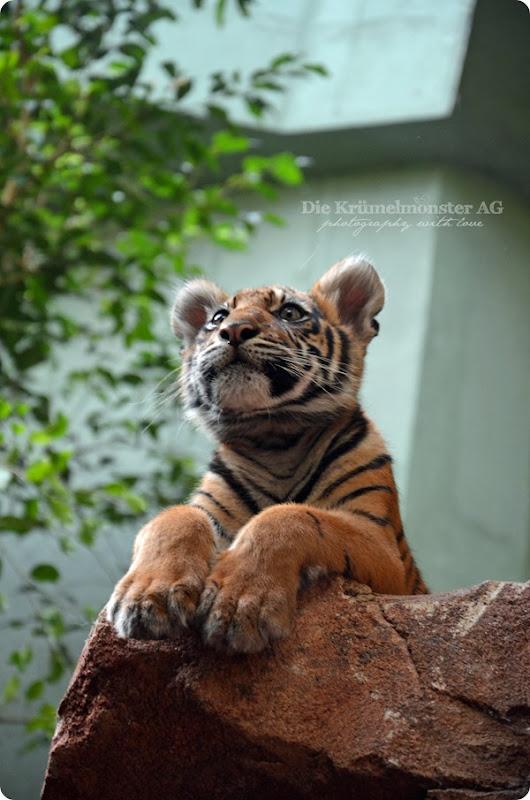 Zoo Frankfurt Tiger Berani 150813