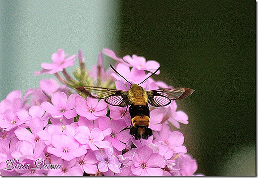 Clearwing_Hummingbird_Moth