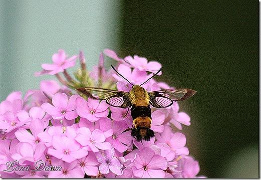 Clearwing_Hummingbird_Moth