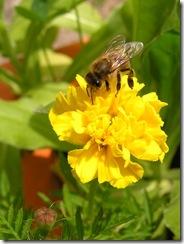 včely na květech 086