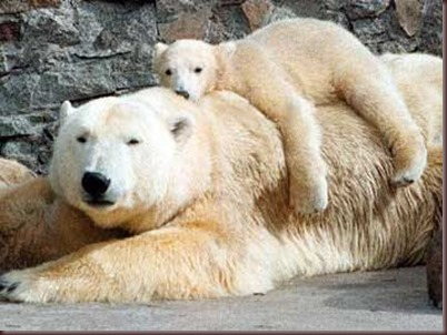 Amazing Animals Pictures Polic Bear (3)