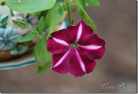 Petunia_BurgundyStar