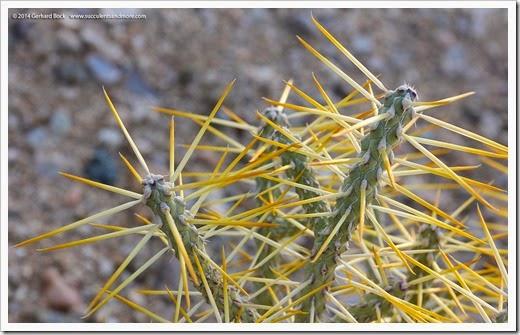 Cylindropuntia-ramosissima