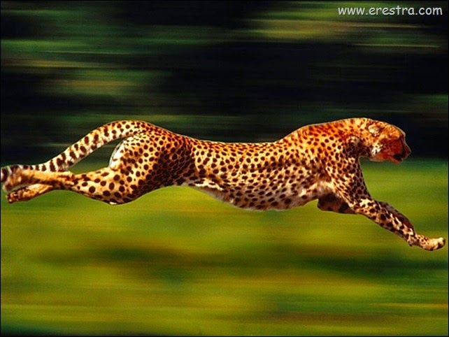 High_Velocity,_Cheetah