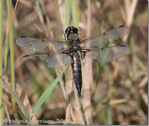 17-4-spotted-chaser